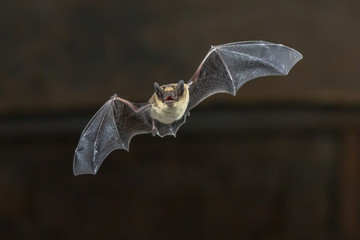 Flying Pipistrelle bat on wooden ceiling
