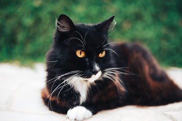 Black and white cat with yellow eye at backyard. Pet