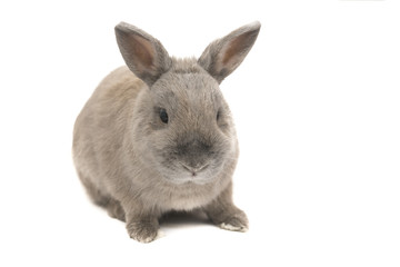 Beautiful rabbit grey with splayed ears isolated on white background