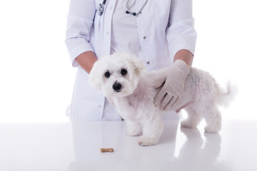 veterinarian examining a cute maltese dog in medical table, isolated