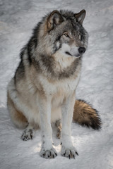Grey Wolf - Canis Lupus - Sitting In The Snow