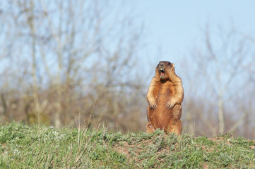 bobak marmot standing on hind legs