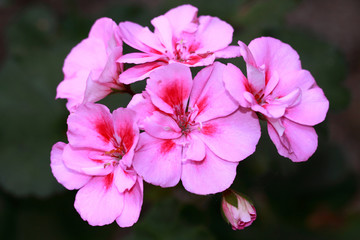 Pink geranium with dark red accents in the middle