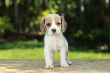 hurt silver color beagle puppy in natural green background