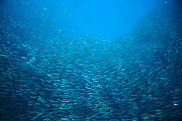 Sea sardine colony in ocean. Saltwater fish school undersea photo.