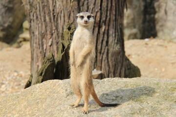 Portrait of standing meerkat.