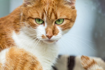 Portrait cut funny white-and-red cat close up. Shallow depth of field, green cat yes in the focus.