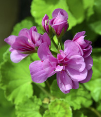 Geranium flowers in the garden close up.Pelargonium flowers.Garden flowers concept.Selective focus.