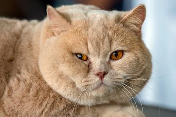 british shorthair cat Fotoväggar