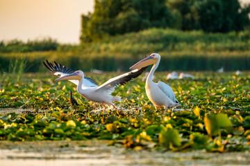 Wild Pelican colony in Danube Delta at sunset