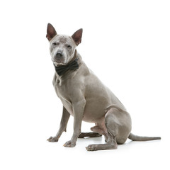 beautiful thai ridgeback dog in bow tie