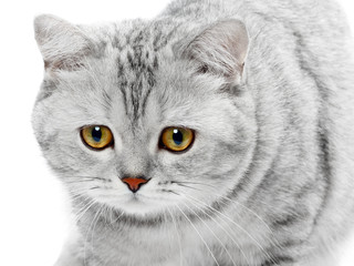 Portrait of British Shorthair cat gray striped chinchilla isolated on white.