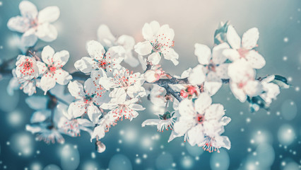 Springtime blossom. White cherry spring blossom, flowers bloom at turquoise blur nature background. Blossoming of flowers, close up Wall mural