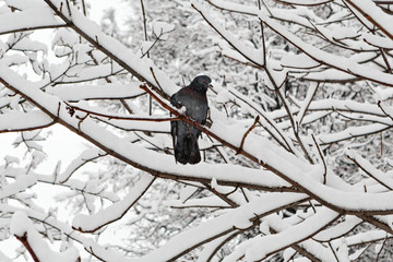 Pigeon is sitting on the snowy tree