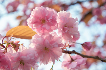 A blooming cherry tree with delicate pink terry flowers in the spring.