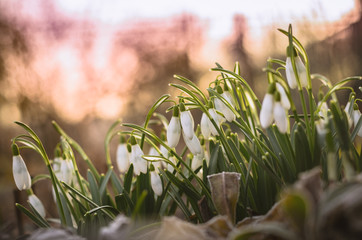 First spring snowdrops in soft morning light with bokeh in background shot from ground level