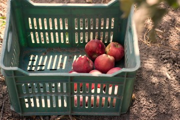 Crate with natural apples in a home garden of a village in Bulgaria.