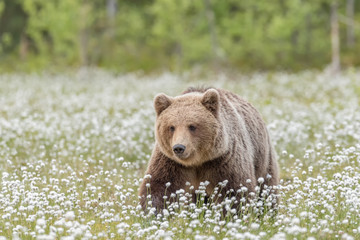 Brown bear (Ursus arctos) walking on a Finnish bog in the middle of the cotton grass