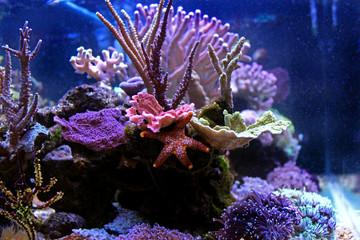 Orange Fromia Monilis starfish