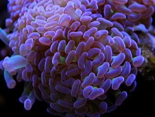 Euphyllia colorfull lps coral in saltwater aquarium