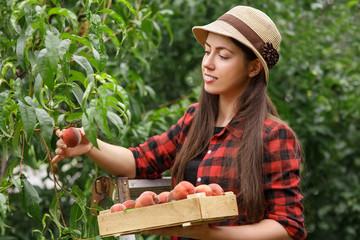 woman gardener picking peaches