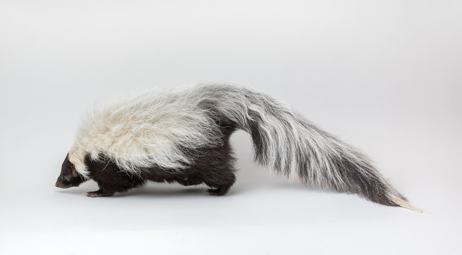 Striped Skunk Isolated on White Background