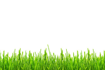 Fototapete - fresh spring green grass with drops of dew, isolated on white background