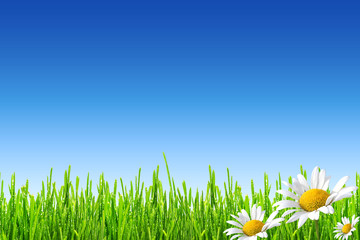 Fototapete - fresh spring green grass with drops of dew and wild daisies on blue sky background
