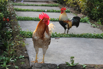 Two Colorfull Roosters from Thailand.