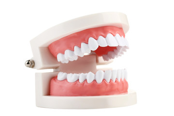 Teeth model isolated on white background