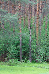 Green pines and bright blooming in spring forest.