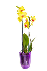Orchid yellow flowers