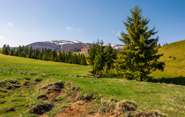 spruce trees on a grassy meadow in mountains. beautiful nature scenery in springtime