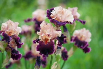 fresh pink  violet irises