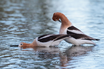 American Avocet Mating Routine in the Shallow Waters of a Lake