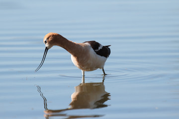 American Avocet Browsing for Breakfast in the Shallow Waters of a Lake