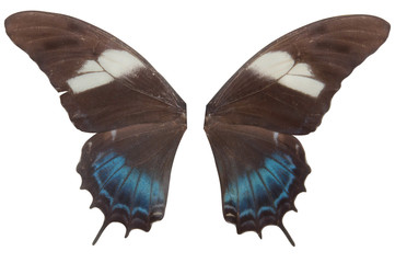 wings of the blue butterfly  on white background