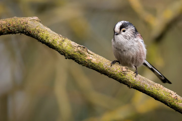 Fototapete - Long Tailed Tit UK wild bird perched with copyspace