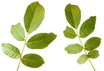 Leaves of walnut tree on white isolated background. Space for text. set, collection