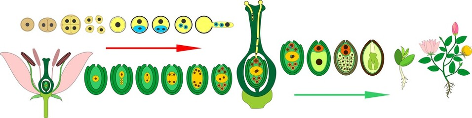 Life Cycle of flowering (Angiosperm) plant with double fertilization