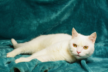 Beautiful white tomcat is lying on an aquamarine blanket. Selective focus on his head. Wall mural