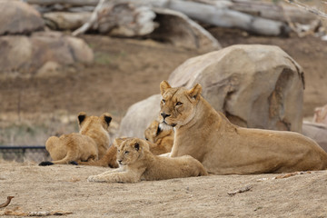 Female Lion Playing With Cubs - Denver Zoo Animal