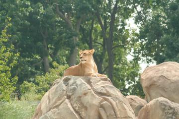 Lion Sitting on a Rock - Denver Zoo Animal