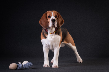 Beagle in studio portrait