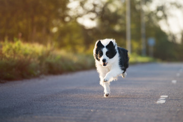beautiful border collie dog running outdoors
