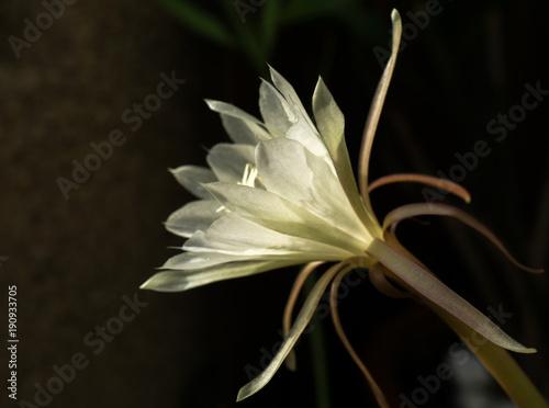 Macro Profile Backlit White Flower Queen Of Night Epiphyllum