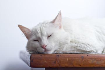 Gato branco dormindo sobre mesa de madeira em fundo branco