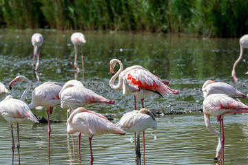 Wild birds big pink flamingo in national park, Provence, France