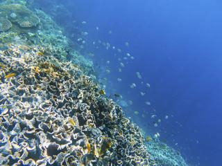 Coral reef wall with dascillus fish. Exotic island shore. Tropical seashore landscape underwater photo.