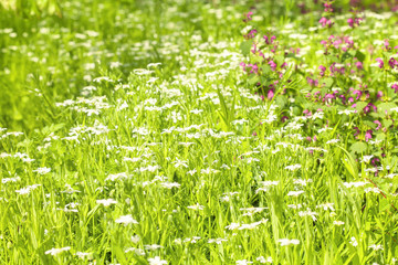 meadow with spring flowers